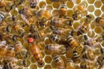 «Demain l'abeille : la dette humaine» (Curieux mardi. Projection débat)